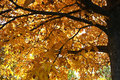 Sunshine on yellow leaves. Autumn Tree Royalty Free Stock Photo