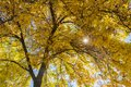Sunshine through yellow leaves on branch Royalty Free Stock Photo