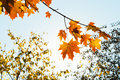 Sunshine and yellow and orange maple leaves Royalty Free Stock Photo