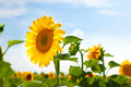 Sunward Sunflower Stock Photography