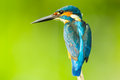 Super close up of male common kingfisher in nature Royalty Free Stock Images