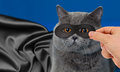 Super hero in mask cat portrait with black cloak on blue background Royalty Free Stock Photos