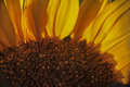 Super macro photo of flower.Sunflower. Royalty Free Stock Photo