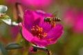 Super macro shot of bee eating honey in sweet daisy flower Royalty Free Stock Photo