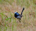 Superb blue wren in grassland photo taken in dec Stock Photos