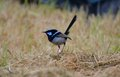 Superb blue wren in grassland photo taken in dec Stock Photography