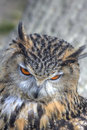Superb close up of European Eagle Owl Royalty Free Stock Image