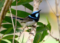 Superb fairy wren Royalty Free Stock Photo