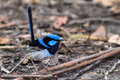 Superb fairywren male bird latin malurus cyaneus Royalty Free Stock Photos