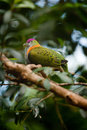 Superb Fruit dove Royalty Free Stock Photo