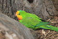 Superb parrot Stock Image