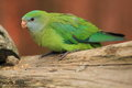 Superb parrot Royalty Free Stock Photo