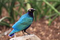 Superb starling Royalty Free Stock Images