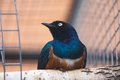 Superb starling aka spreo superbus in zoo Royalty Free Stock Photography
