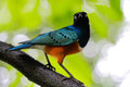 Superb starling a close up of a Royalty Free Stock Image