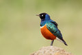Superb starling colorful lamprotornis superbus kenya Stock Photography