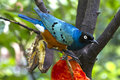 Superb starling,Lamprotornis superbus Royalty Free Stock Images
