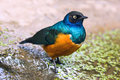 Superb starling lamprotornis superbus the also known as spreo is a common bird in east africa Stock Images