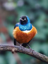Superb starling lamprotornis superbus resting on a branch Royalty Free Stock Photo