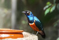 Superb starling near feeders look straight Royalty Free Stock Photography