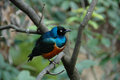 Superb starling spreo superbus a colourful bird found in most of sub saharan africa Stock Photography
