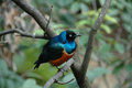 Superb starling spreo superbus a colourful bird found in most of sub saharan africa Stock Photos