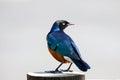 Superb starling standing on fence post kenya Stock Image