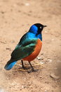 Superb starling standing soil Royalty Free Stock Photography