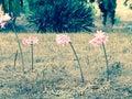 Suporte cor de rosa alto Imagens de Stock