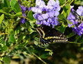 Sure sign spring butterflies flocking to lush purple blooms mountain laurel otherflowers Stock Photos