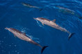 Surfacing and submerged, hawaiin spinner dolphins Royalty Free Stock Photo