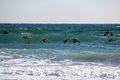 Surfing pelicans a group of searching the surf for fish in north carolina Royalty Free Stock Photos