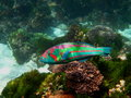 Surge wrasse thalassoma purpureum at lord howe island Royalty Free Stock Photo