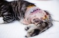 Surgery suture detail of after fracture on small cat Royalty Free Stock Photo