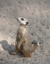 Suriсat suricata suricatta funny wild mammal animal Stock Photo