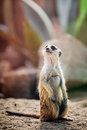 Suricata in a natural habitat meerkat Stock Image