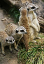 Suricate Royalty Free Stock Images