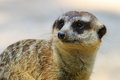 Suricate close-up Royalty Free Stock Photo