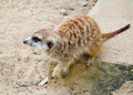 Suricate cute on rock in prague zoo Royalty Free Stock Images