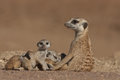 Suricate female and pups Royalty Free Stock Image