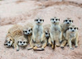 Suricate or meerkat family on sand Stock Photos