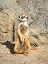 Suricate Meerkat Mongoose Royalty Free Stock Photo