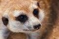 The suricate Royalty Free Stock Photo