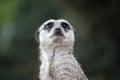 Suricate  meerkat Royalty Free Stock Photo