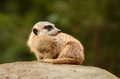 Suricate meerkat suricatta do suricata Fotos de Stock Royalty Free