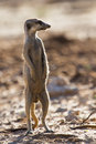 Suricate sentry standing in the early morning sun back lit looking for possible danger Royalty Free Stock Photography