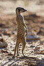 Suricate sentry standing in the early morning sun looking for po back lit possible danger Stock Photos