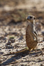 Suricate sentry standing in the early sun morning back lit looking for possible danger Stock Photo