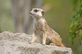 Suricate in a Zoo Royalty Free Stock Photo