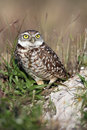 Surprised Burrowing Owl Stock Images